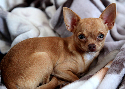 Photo of a Chihuahua.