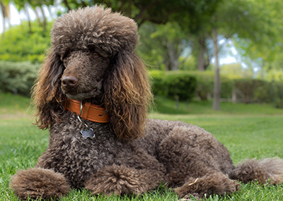Photo of a Poodle.